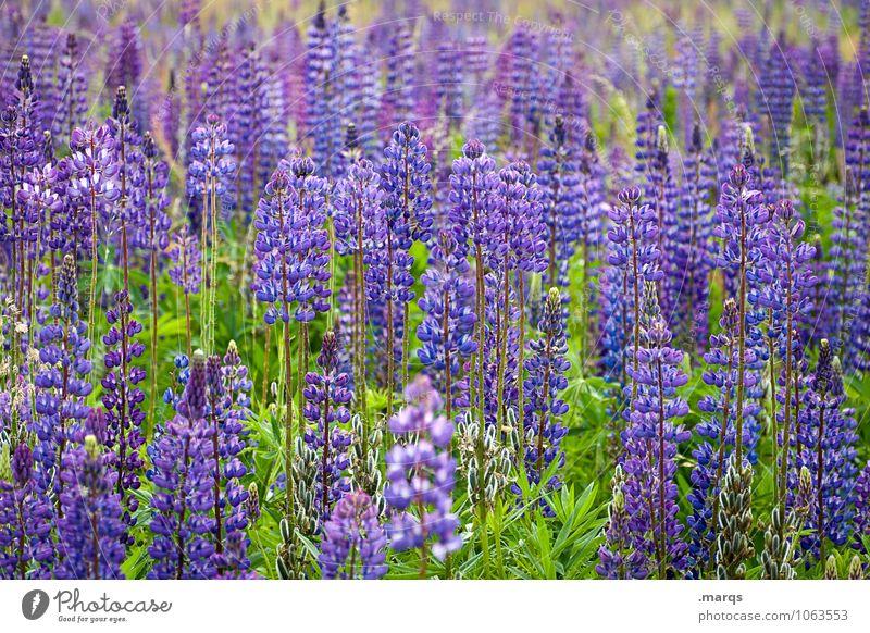 Lupinen Natur Pflanze schön Sommer Umwelt natürlich Blühend viele violett Lupinenfeld