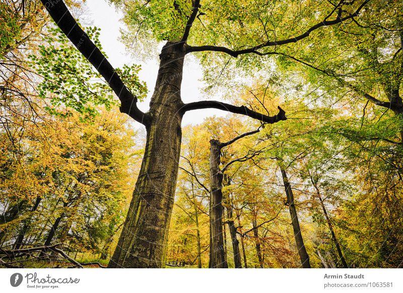 Buchenwald Natur alt Pflanze schön grün Baum Landschaft Ferne dunkel Wald gelb Herbst Senior natürlich Zeit Stimmung