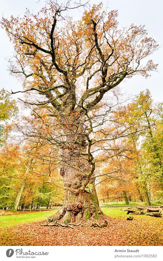 Alte Eiche Natur alt Baum Einsamkeit Landschaft Winter Wald gelb Senior natürlich Zeit Stimmung braun Park Wachstum Erde