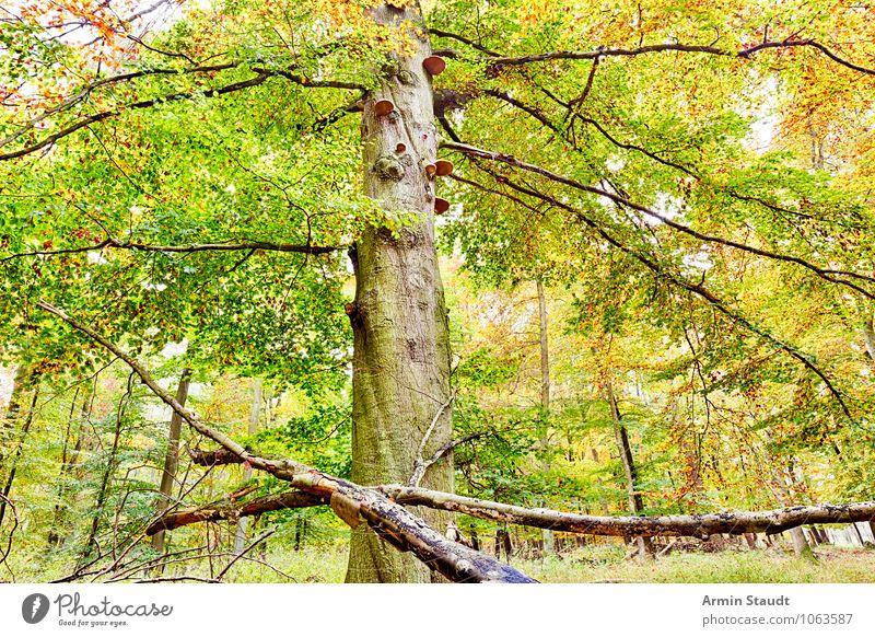Herbstbaum Natur alt grün Baum Landschaft ruhig dunkel Wald gelb natürlich Stimmung Zufriedenheit Wachstum Kraft ästhetisch