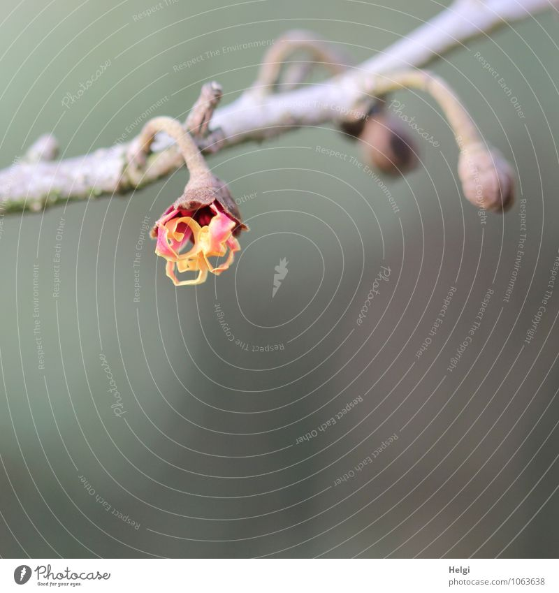 zaghafter Aufbruch... Natur Pflanze schön Winter Umwelt gelb Leben Blüte natürlich grau klein braun Park orange Wachstum Sträucher