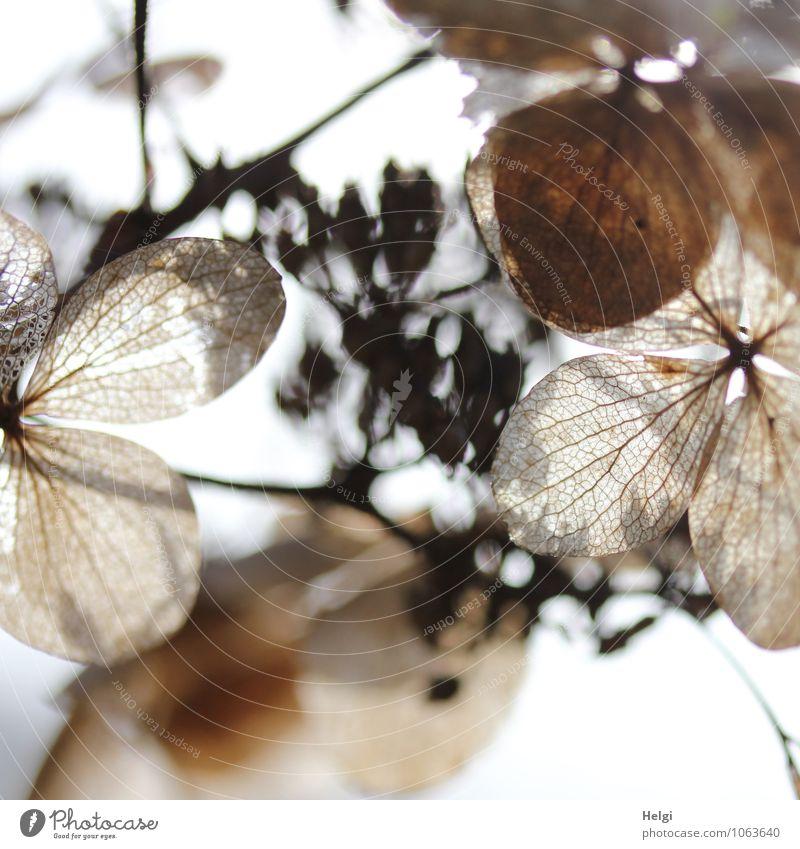 vergänglich... Umwelt Natur Pflanze Winter Blume Blatt Blüte Hortensie Hortensienblüte Blütenblatt Blattadern Park alt Blühend verblüht dehydrieren authentisch
