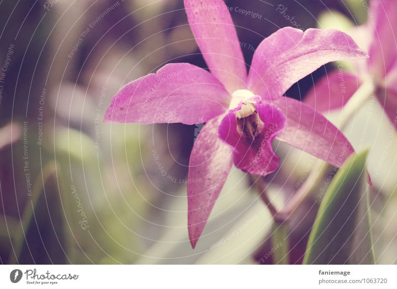 Sternblume Natur Pflanze Sommer Schönes Wetter Blatt Blüte exotisch schön rosa violett dunkelgrün Urwald Wildpflanze wild sanft Pastellton Stern (Symbol) direkt
