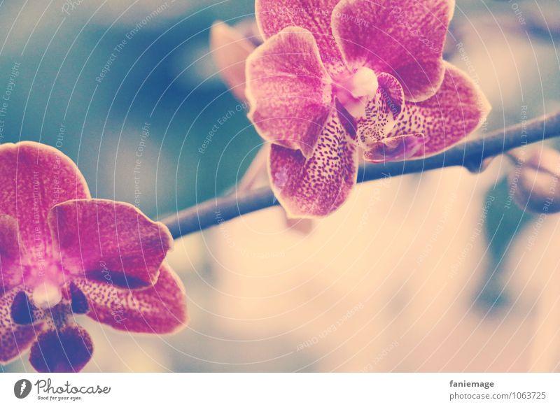 Exoten Natur Pflanze Sommer Orchidee Blüte Urwald ästhetisch schön rosa Orchideenblüte Stengel diagonal Zweig gold beige grün dunkelgrün blau türkis elegant