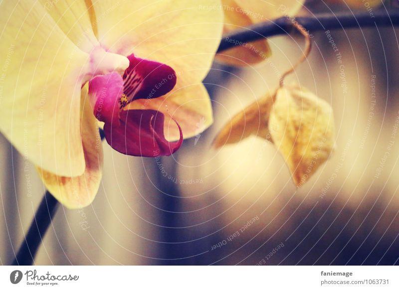 Orch idee Natur Blume Orchidee Blüte exotisch ästhetisch schön Gold Orchideenblüte gelb rosa Unschärfe elegant geheimnisvoll braun bläulich Wärme Warmes Licht