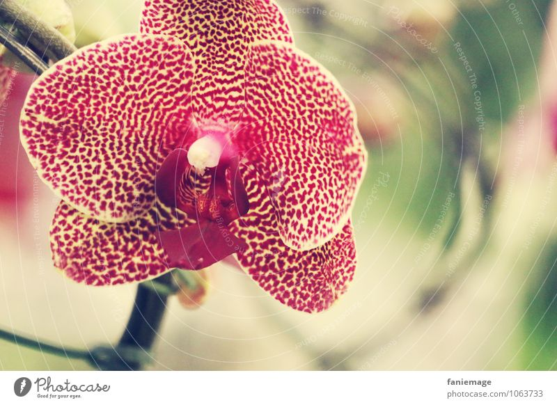 leuchtend Umwelt Natur Pflanze Sommer Schönes Wetter Orchidee exotisch Urwald ästhetisch schön elegant Orchideenblüte strahlend Punkt gepunktet rot gelb rosa