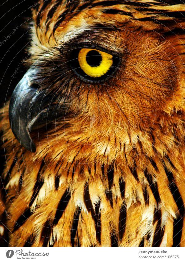 Eule gelb Nahaufnahme Bali Vogel birds owl furr Wildtier sharp predator