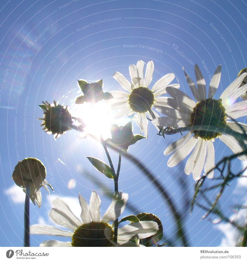 Im Licht stehen... blau weiß Sonne Sommer Wiese oben Beleuchtung Gesundheit Kraft hoch Wachstum beobachten Schönes Wetter Blühend Sonnenbad blenden