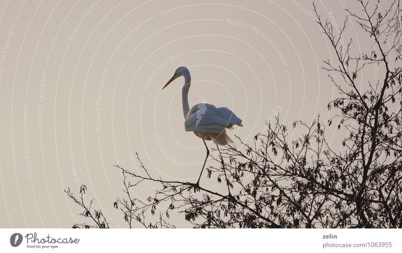 federleicht weiß Tier Vogel warten Lebewesen dünn Gelassenheit Wachsamkeit Jagd geduldig Silberreiher