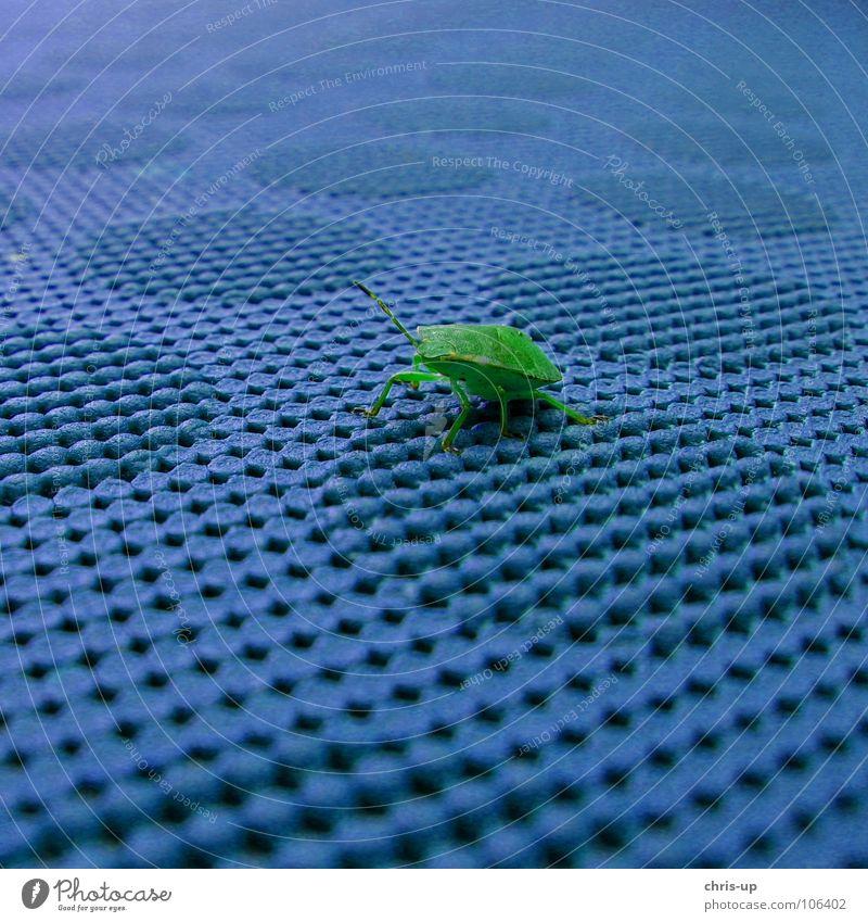 Käfer grün und blau Wanze Tier Tisch Insekt Kontrast Noppe Schädlinge krabbeln Makroaufnahme Fühler Tarnung klein Ekel mehrfarbig Farbe Palomena prasina blue