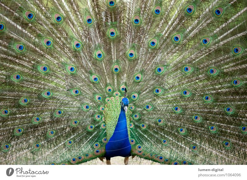 Pfau Vogel Pfauenfeder 1 Tier Brunft blau grün Stolz Pfauenauge Berlin bildfüllend federn Feder männlich pfaueninsel rad schlagen eitel Eitelkeit Farbfoto