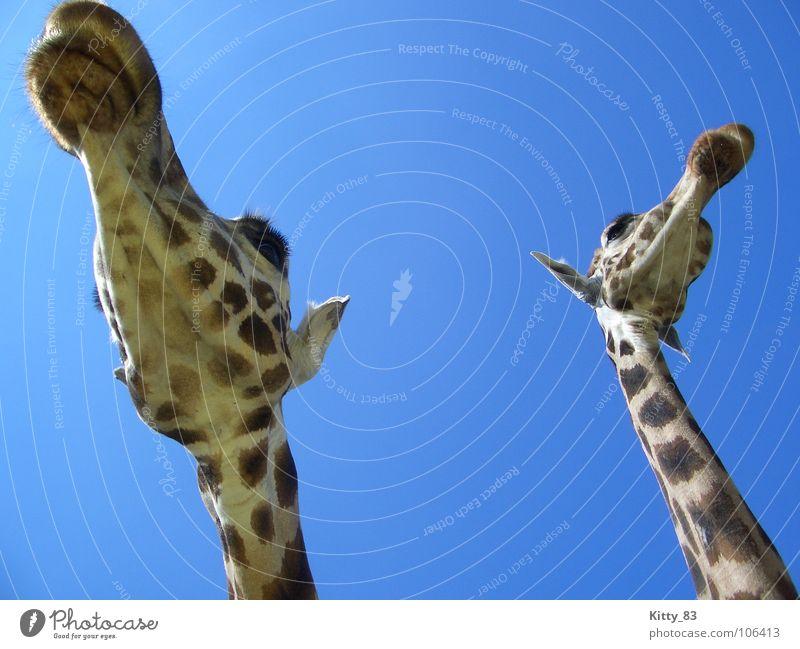 Melman and friend ;) groß Wimpern braun beige Serengeti Afrika schön Säugetier Giraffe langer Hals Ohr Himmel blau Fleck Freiheit friedlich