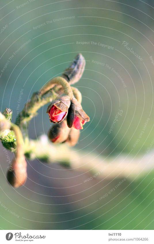 Zaubernuss (Hamamelis) Natur Pflanze blau schön grün Sonne rot Winter Blüte grau außergewöhnlich Garten braun Stimmung Park Luft