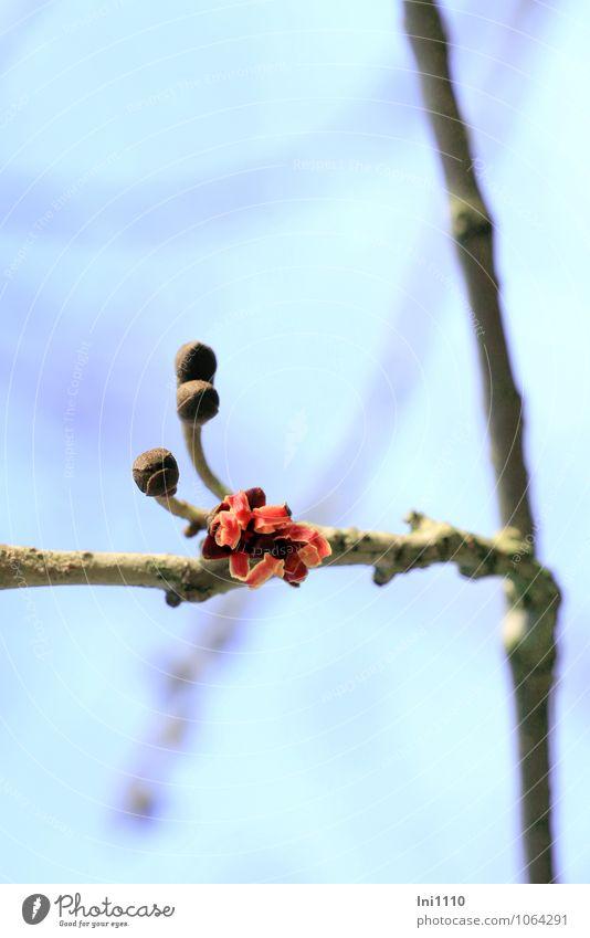 Zaubernuss (Hamamelis) Pflanze Himmel Wolkenloser Himmel Sonnenlicht Winter Schönes Wetter Sträucher Blüte Nutzpflanze Wildpflanze Hamamelis Zaubernuss Garten