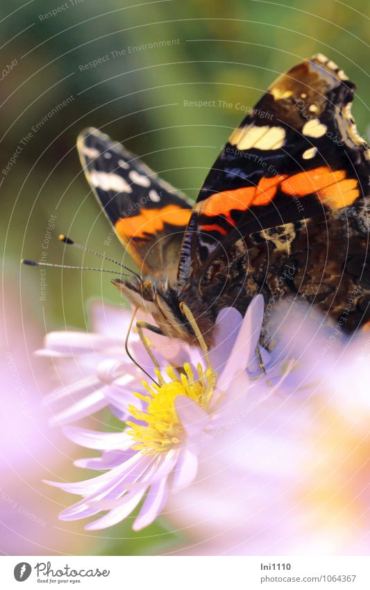 Admiral Pflanze Tier Sonne Sommer Wetter Schönes Wetter Blume Blüte Astern Garten Park Wildtier Schmetterling Tiergesicht Flügel Schmetterling (Admiral) 1