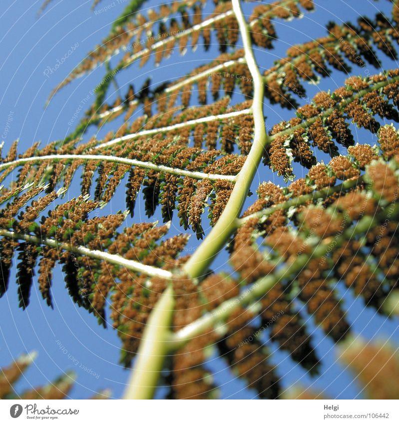 Farn....rückwärts Himmel blau grün Pflanze Garten Park braun Zweig Echte Farne Heilpflanzen Unterholz verzweigt Sporen hellgrün Alternativmedizin hellbraun