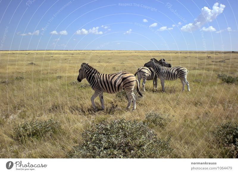 Zebras Wildtier 3 Tier Blick warten heiß natürlich friedlich achtsam ruhig Zusammenhalt Steppenzebra Streifen Afrika Namibia Säugetier Safari Pferd Nationalpark