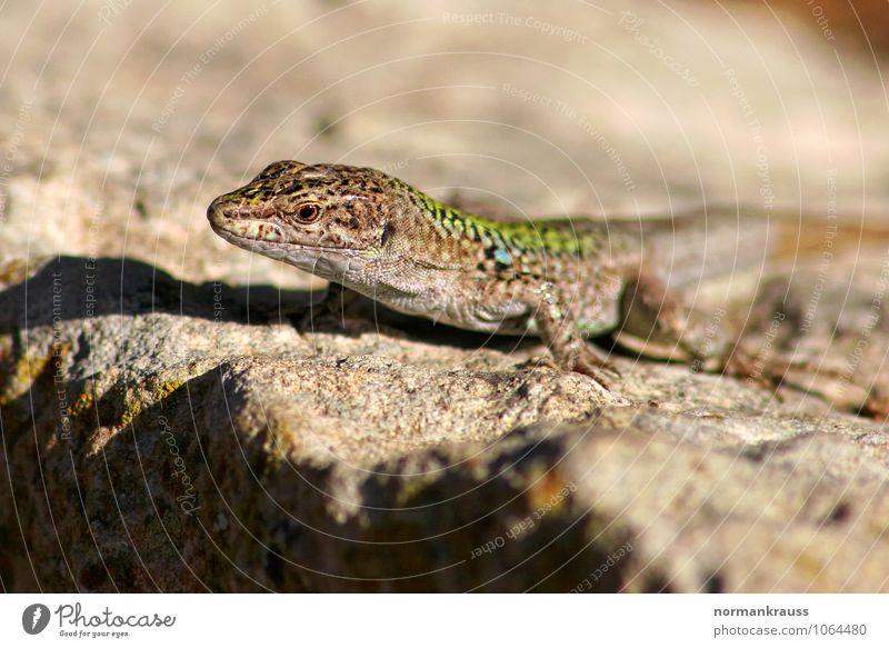 Mauereidechse Tier Wildtier Echte Eidechsen 1 beobachten hocken sitzen warten natürlich Reptil felseidechse landwirbeltier Farbfoto Außenaufnahme
