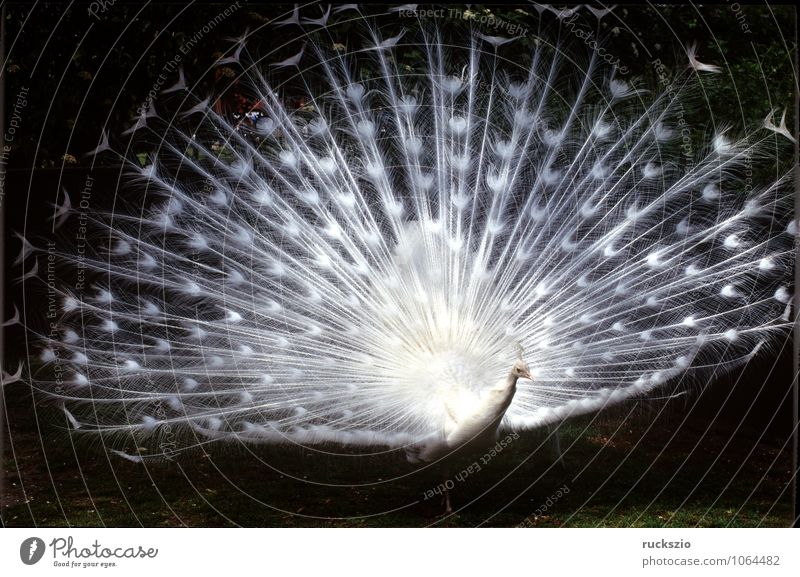 Weisser Pfau, Hochzeitspfau, Tier Vogel Brunft weiß Mut Pavo cristatus Pfauenrad balzend Huehnervogel Rad Feder Federn Fasanenartig Peacock white courtship
