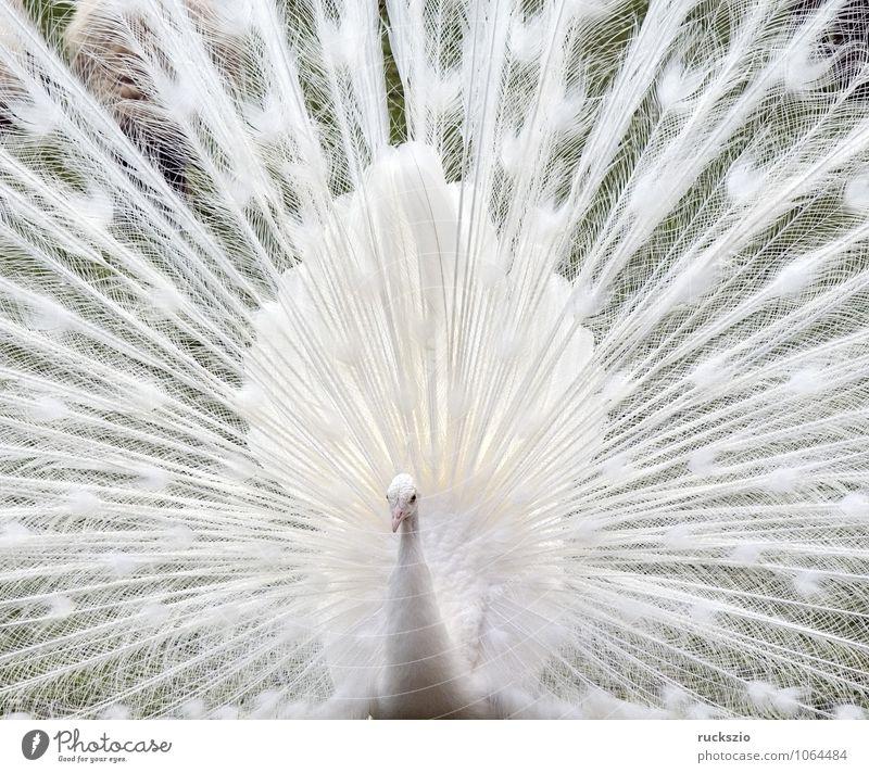 Weisser Pfau, Hochzeitspfau, Vogel Brunft weiß Mut Pavo cristatus Alba Pfauenrad balzend Huehnervogel Rad Feder Federn Fasanenartig white bird peacock peacocks