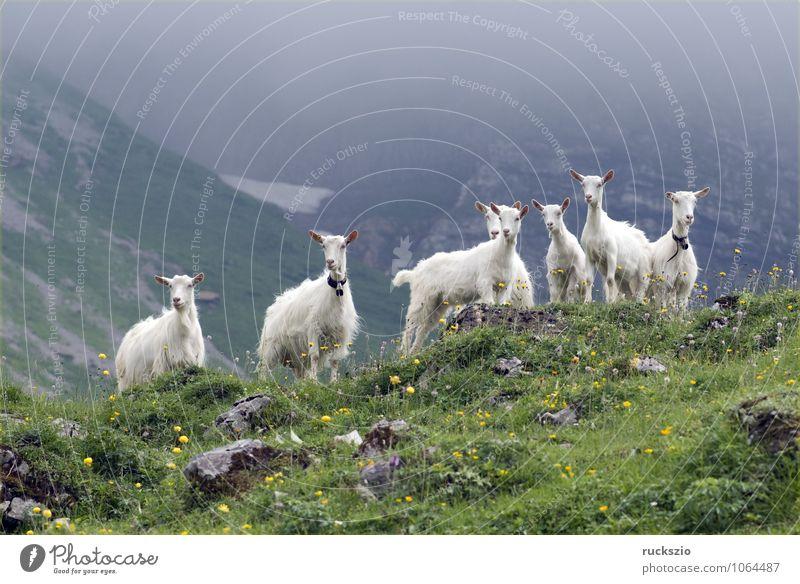 Ziegen auf Weide Milch Berge u. Gebirge Landwirtschaft Forstwirtschaft Landschaft Tier Schönes Wetter Wiese Alpen Haustier Nutztier Herde frei Zusammensein weiß