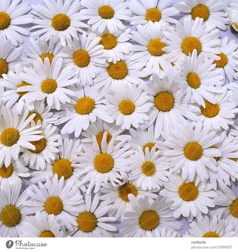 Margariten, Wiesen-Margeriten, Natur Pflanze Blume frei schwarz weiß Wiesen-Wucherblume vulgare Chrysanthemum leucanthemum Anordnung arrangiert Wiesenblume