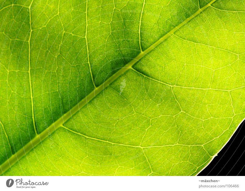 Fotosynthese I Blatt Gefäße Photosynthese grün grasgrün erleuchten fruchtig saftig feucht Pflanze Makroaufnahme Sommer leave Leben sehr grün vein veins