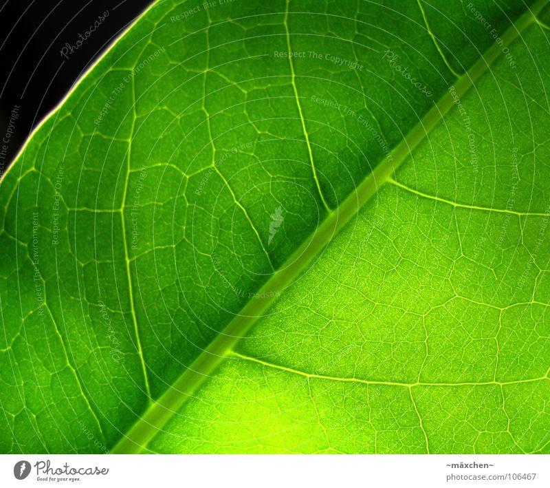 Fotosynthese II grün Pflanze Sommer Blatt Leben Wind feucht durchsichtig erleuchten Gefäße saftig Photosynthese fruchtig grasgrün