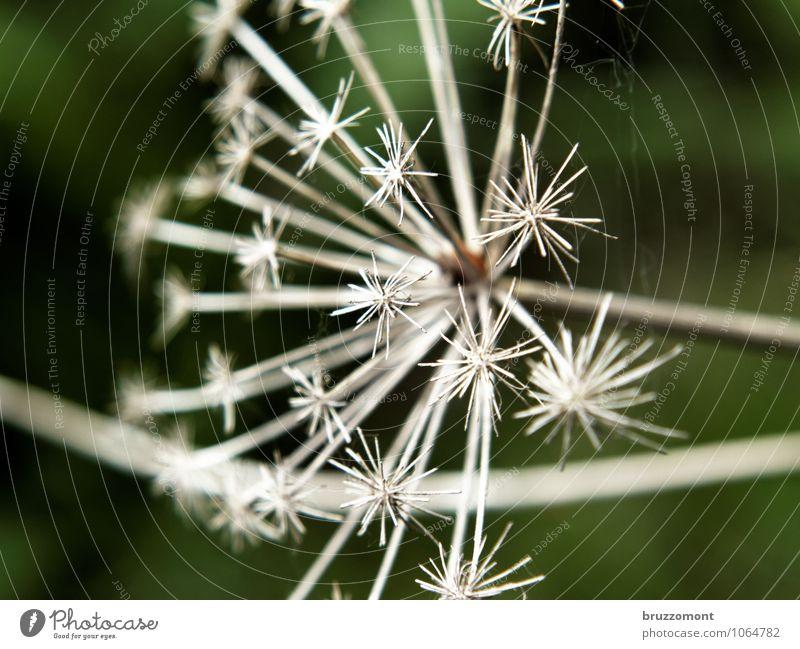 *** Natur Pflanze Wildpflanze Spitze trocken grün Doldenblüte vertrocknet verblüht Samen Herbst Garten Farbfoto Gedeckte Farben Außenaufnahme Menschenleer