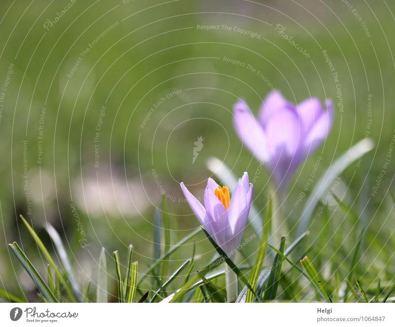 erste Frühlingsboten... Natur Pflanze schön grün Blume Blatt ruhig Umwelt Leben Gras Blüte Frühling natürlich klein Park Wachstum