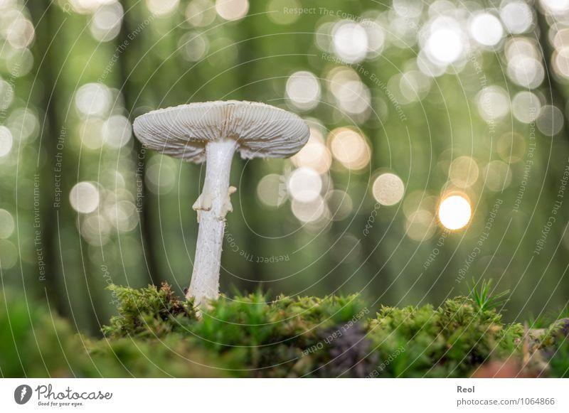 Im Moss II Umwelt Natur Pflanze Urelemente Erde Sonnenlicht Herbst Schönes Wetter Moos Wildpflanze Pilz Pilzhut weiß Wald glänzend Wachstum braun grün Waldboden