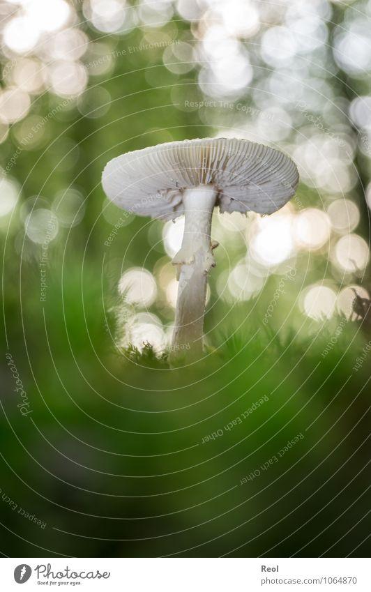 Im Moss Natur Pflanze grün weiß Wald Herbst wild Wachstum Erde Schönes Wetter Urelemente Moos Pilz Grünpflanze Wildpflanze Waldboden