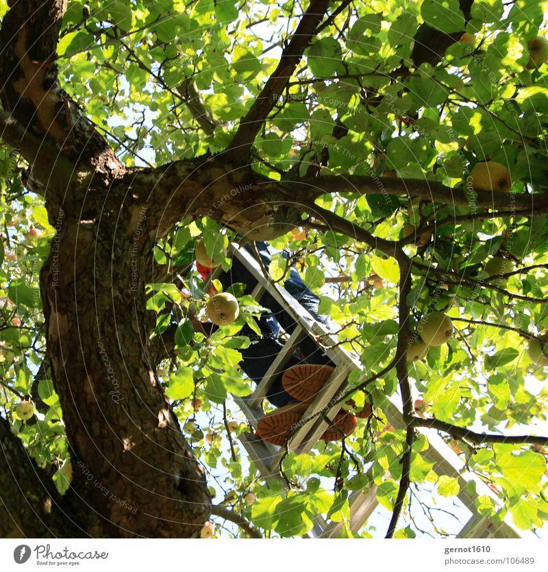 Apfelernte blau grün Sommer Baum Blatt schwarz Herbst braun Schuhe Frucht hoch gefährlich bedrohlich Ast fallen Landwirtschaft