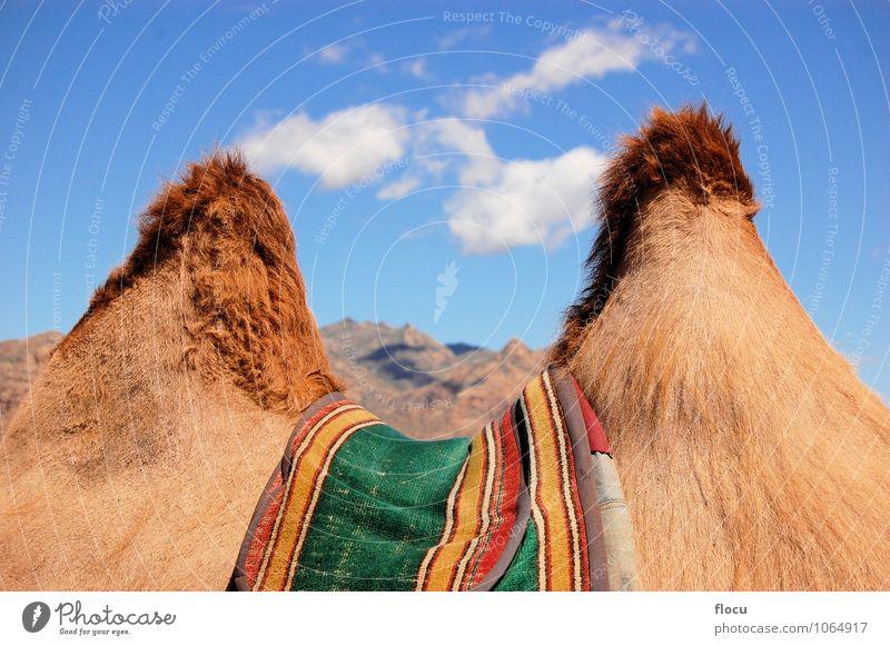 Humps of a camel in the Gobi desert Natur Ferien & Urlaub & Reisen Sommer Tier Wege & Pfade Hintergrundbild Sand Horizont Abenteuer Asien Steppe Wohnmobil Rum