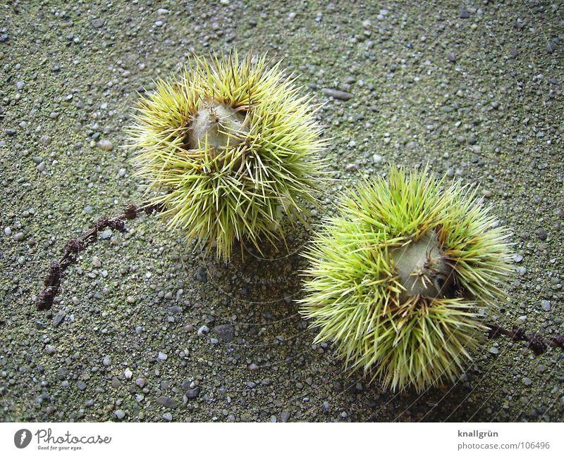 Castanea sativa Natur Baum grün Pflanze Herbst braun Schalen & Schüsseln Stachel Maronen essbar Baumfrucht