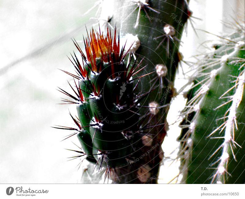 *pieks* Blüte frisch Schmerz Kaktus Stachel