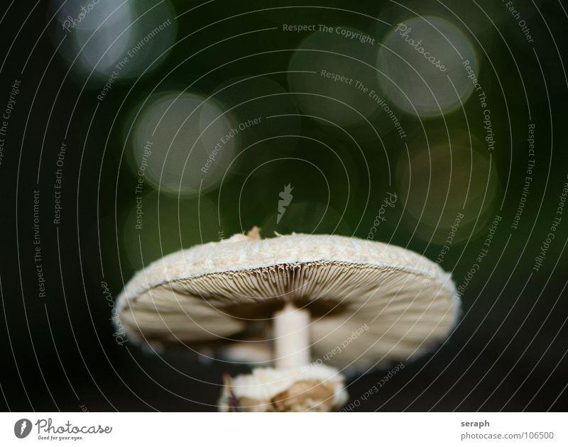 Parasol Natur Pflanze Gesunde Ernährung Herbst Speise Hut Stengel Pilz Botanik herbstlich Pilzhut Symbiose Schimmelpilze Sporen Knolle essbar