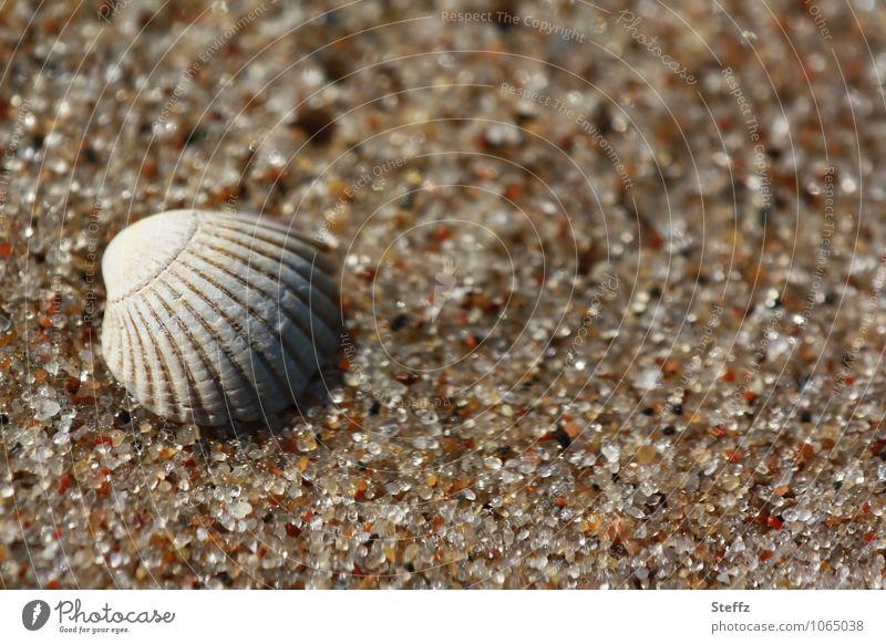 eine Muschelschale in warmem Sand Ostseestrand Sandkörner Meeresstrand Sandstrand Strand maritim harmonisch ruhig achtsam friedlich sommerliche impression