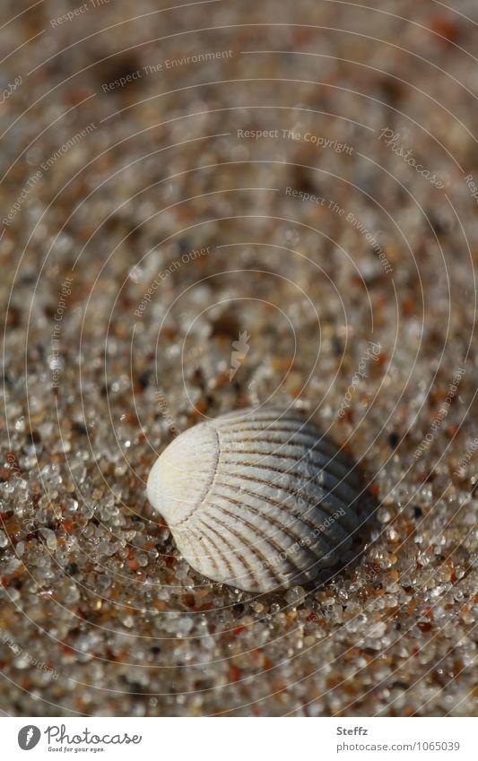 eine Muschelschale in warmem Sand an der Ostsee Strand Sandstrand Ostseestrand warmer Sand Sandkörner Erholung sommerliche Idylle Sommergefühl maritim erholsam