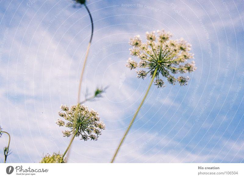 Blume Natur Himmel weiß blau Freude Wolken
