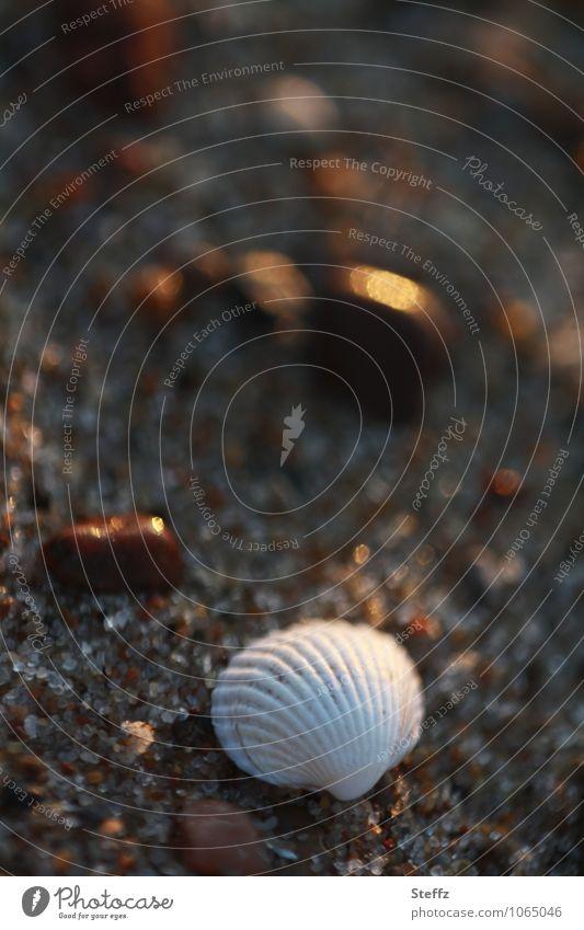 Muschel im Abendlicht Natur Ferien & Urlaub & Reisen Sommer ruhig Strand natürlich Stein Stimmung braun Sand Ostsee Sommerurlaub Sandstrand Lichtspiel friedlich