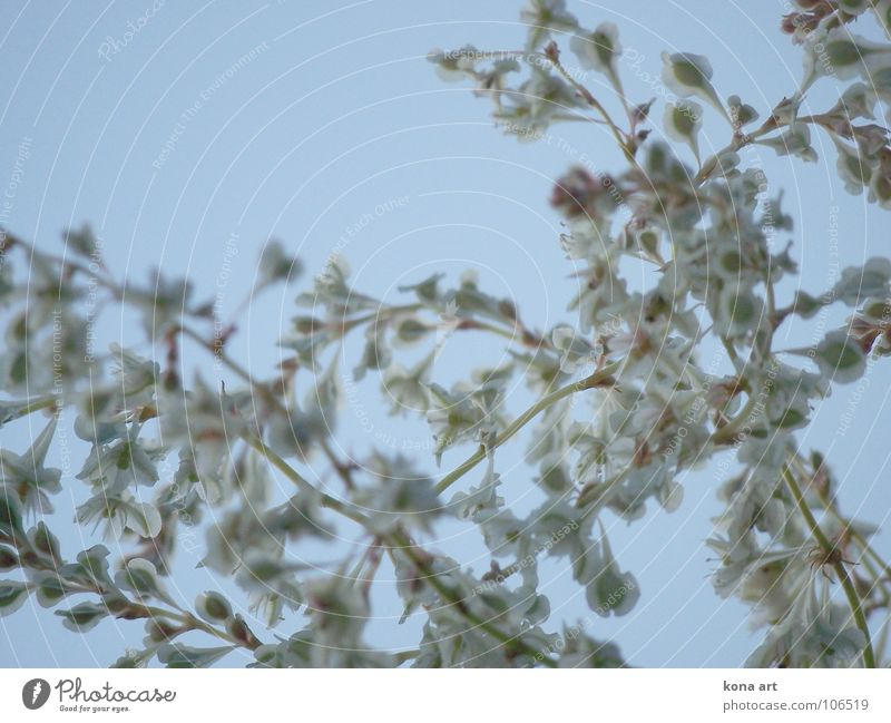 dem Himmel ein Stück näher Blume Pflanze grün weiß Geäst Blüte Unschärfe himmelblau Wachstum Herbst strahlend schön zart Anmut Ast Knöterich Wildtier oben