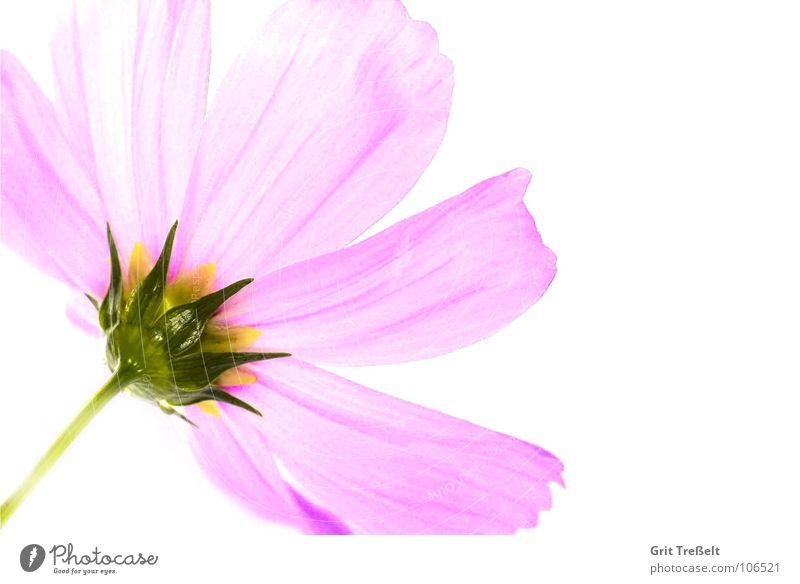 rosé Blume Pflanze Sommer Wiese Blüte Regen rosa