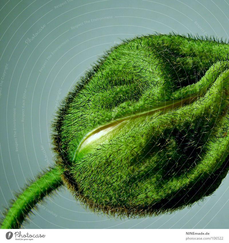 poppy IV Natur weiß grün blau Wiese Garten geschlossen Sicherheit rund Fell Stengel Quadrat Falte Mohn Geborgenheit Schalen & Schüsseln