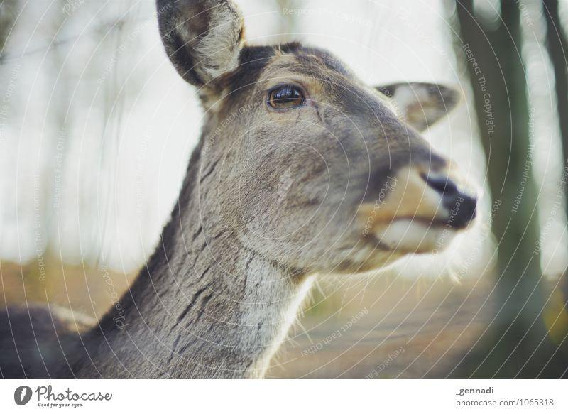Bambi Tier Wildtier Reh elegant Freundlichkeit schön tierisch Auge gefangen Fell braun Schnauze Farbfoto Menschenleer Textfreiraum links Textfreiraum unten Tag