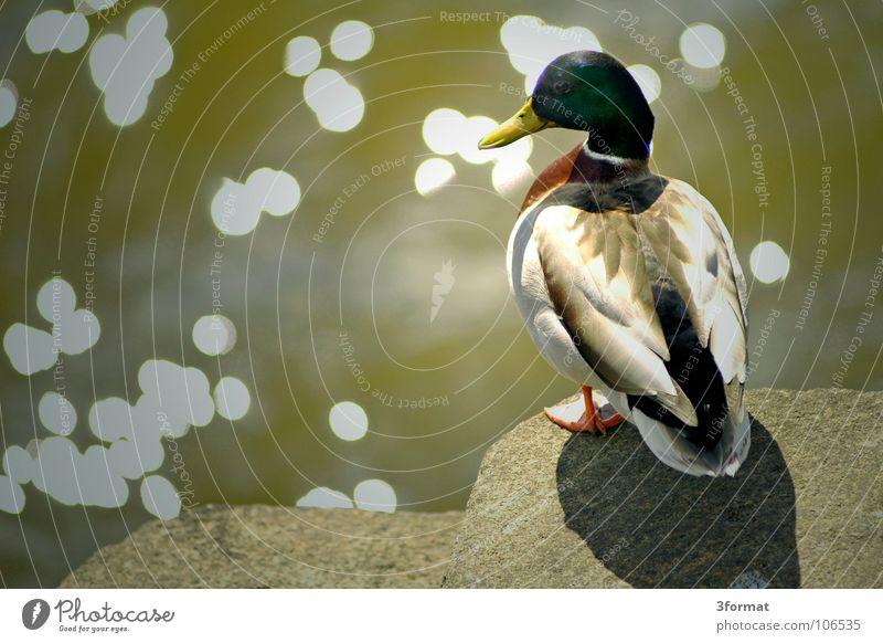 ente Erpel Tier Vogel See Gewässer Teich Zoo Gehege Feder Schnabel Sommer Frühling Natur Am Rand stehen springen Beginn Ente Animal Wasservogel glänzend