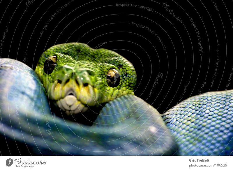 Baumpython Reptil Terrarium grün schwarz hängen Zoo blau Schlange Reptilienzoo Makroaufnahme