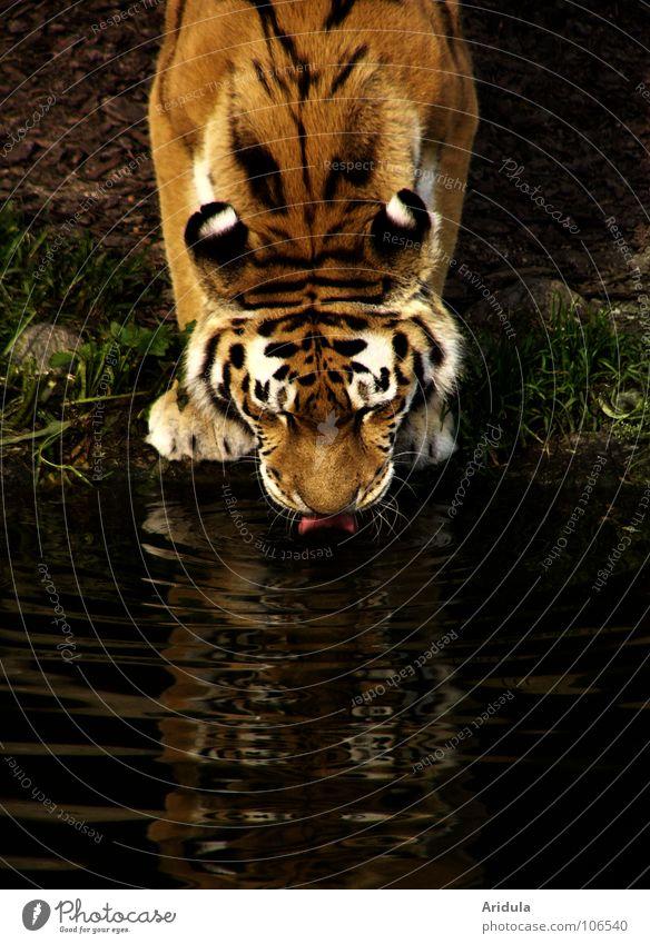 katzendurst Wasser Tier Küste Katze Kraft Wildtier Streifen trinken Spiegel Asien Zoo Raubkatze Säugetier Zunge Tiger