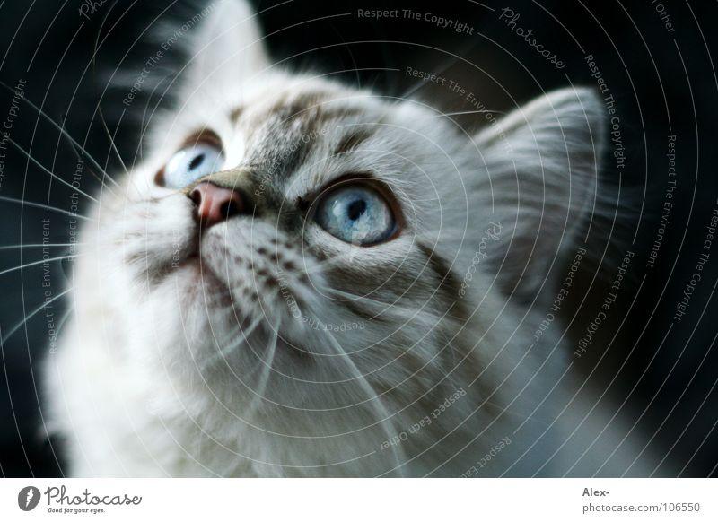 Hypnose Katze grau Fell hören zielen süß niedlich Konzentration Säugetier cat miez Haare & Frisuren schnurbart schnautze blau blaue augen Ohr beobachten Blick