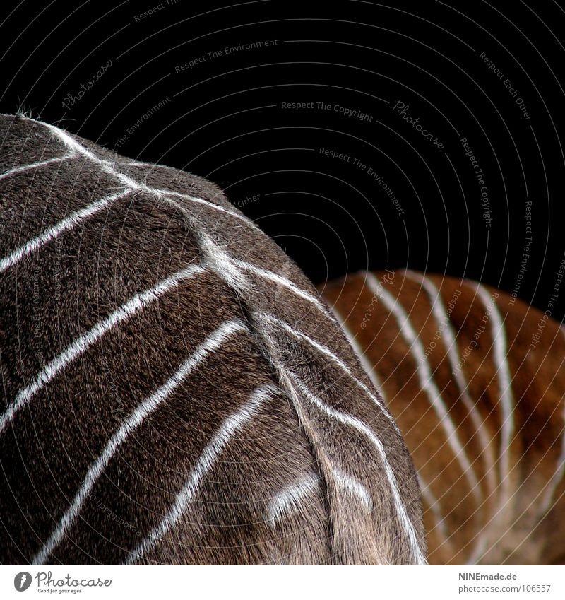 Kein Zebra! Natur weiß Sommer schwarz Tier Leben grau braun Tierjunges Streifen Wildtier Hinterteil Afrika Zoo Fell Quadrat